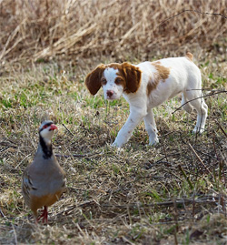 Brittany Hunting Dog